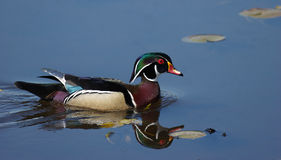 Wood Duck reflections. Wood duck looking for a mate at Burnaby Lake Stock Images