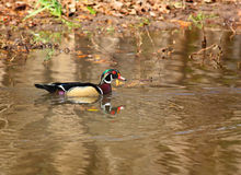 Wood Duck Reflections. A male Wood Duck duck swimming in a pond Stock Photo