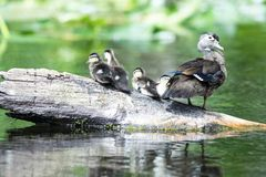 Wood Duck with Ducklings. Wood Duck resting with her young ducklings royalty free stock image