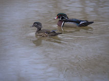 Wood duck in river Stock Images
