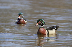 Wood duck in river Stock Photography