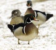 Wood Duck in Snow Scene. With ducks in bokeh in background Stock Photos