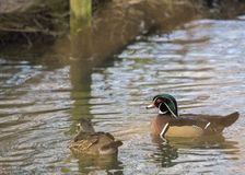 Wood Duck. Spotted in London - United Kingdom Royalty Free Stock Photography