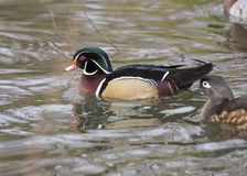 Wood Duck. Spotted in pond in London, UK Royalty Free Stock Photo