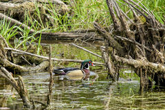 Wood duck in swampy area. Stock Images