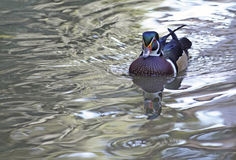 Wood Duck Swimming. A wood duck swims along in glassy water Stock Photos