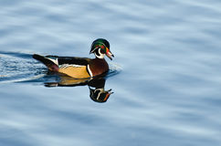 Wood Duck Swimming in Blue Water Stock Photography