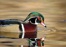 Wood Duck swimming on Golden Pond, Male, British Columbia, Canada. Wood Duck swimming on Golden Pond, Male Drake, British Columbia, Canada Stock Photo