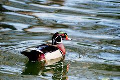 Wood Duck Swimming in a Pond. Male wood duck swimming in a lake Royalty Free Stock Photos