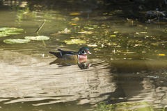Wood duck swimming. A wood duck swims in water Stock Photography