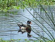 Wood Duck or Aix sponsa. Wood Duck swimming in the wetlands Royalty Free Stock Photo
