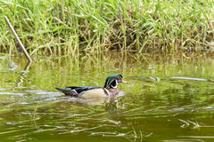 Wood duck swims in pond. A male wood duck swims in the wetland area of Fernan Lake in Idaho Royalty Free Stock Photography