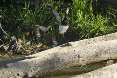 Wood duck taking flight. A wood duck takes flight Stock Image