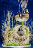 Wood Duck Taxidermy Mount. Stuffed Wood Duck Drake and Hen Taxidermy Mount Royalty Free Stock Photos