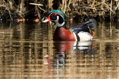 Wood Duck Thatch Stock Photo