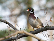 Wood duck in tree Stock Images