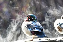 The wood duck Vapor from warmed board by sunlight stock photo