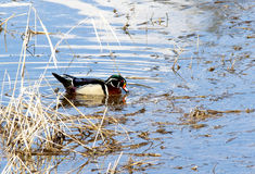 Wood duck in water. A male wood duck swims in the lake Royalty Free Stock Images