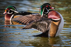 Wood Duck. Wild wood ducks flapping their wings and swimming in a lake stock photo