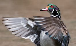 Wood Duck in Winter. In Pennsylvania stock images
