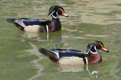 The wood duck. Or Carolina duck Aix sponsa royalty free stock photos