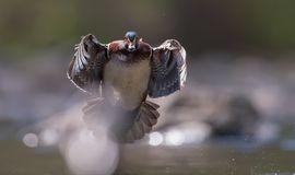 Wood Duck. In New Jersey Stock Photos