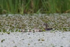 Wood Duck with Young. A female wood duck with her family of ducklings stock photos