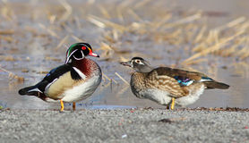 Wood ducks Royalty Free Stock Images