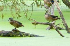 Wood Ducks royalty free stock photography