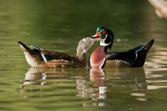 Wood ducks Stock Images
