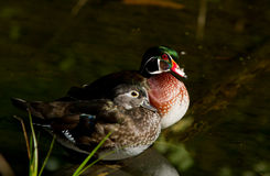 Wood ducks Royalty Free Stock Photo