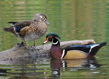 Wood Ducks - Aix sponsa Stock Images