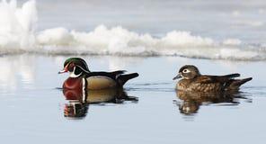 Wood ducks Aix sponsa swimming on Ottawa river in Canada Royalty Free Stock Photo