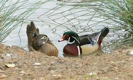 Wood ducks courtship Stock Photography
