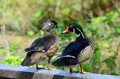 Wood ducks. The wood duck is one of the most stunningly pretty of all waterfowl Stock Photos