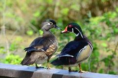 Wood ducks Stock Photos