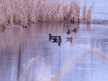 Wood ducks Royalty Free Stock Photos
