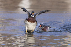 Wood ducks fight Stock Photos