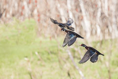 Wood ducks in flight Royalty Free Stock Photography
