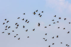 Wood ducks flying Royalty Free Stock Photography