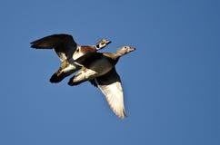 Wood Ducks Flying in a Blue Sky. Pair of Wood Ducks Flying in a Blue Sky Royalty Free Stock Photos