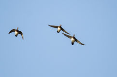 Wood Ducks Flying in a Blue Sky Royalty Free Stock Photography