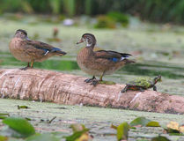 Wood Ducks on a log Stock Photos