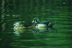 Wood ducks Stock Image