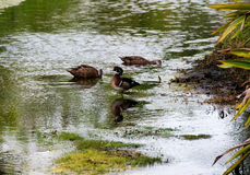 Wood Ducks. Male and female in a stream with reflection in water Royalty Free Stock Photo
