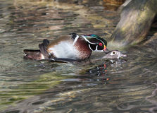 Wood ducks mating Royalty Free Stock Photography