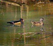 Wood Ducks on the Move Royalty Free Stock Image