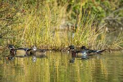 Wood ducks near the grassy shore. Male and female wood ducks swim close to the grassy shore at Cannon Hill Park in Spokane, Washington Stock Photo