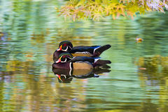 Free Wood Ducks On A Pond Royalty Free Stock Image - 47086586