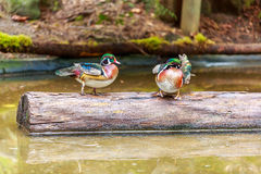 Wood Ducks Royalty Free Stock Image